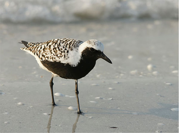 Black-bellied Plover summer plumage